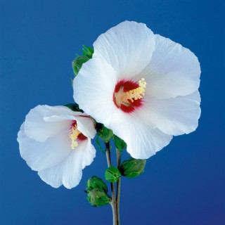 Color Botanicals - Wild Hibiscus