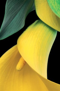 Color Botanicals - Yellow-Calla