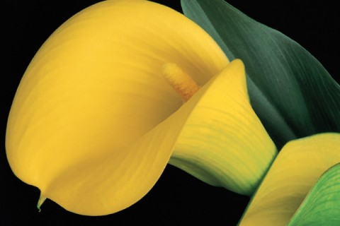 Yellow-Calla-Lily