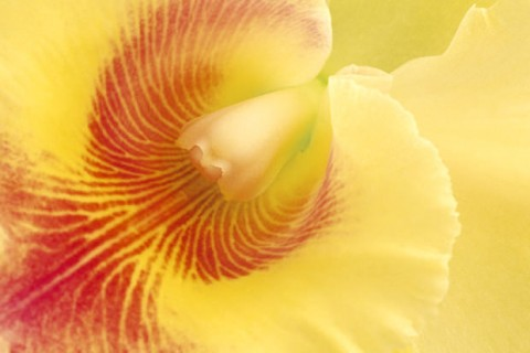 Yellow-Cattleya