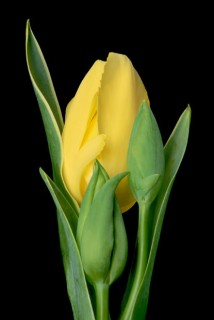 Color Botanicals - Yellow Tulip with Buds