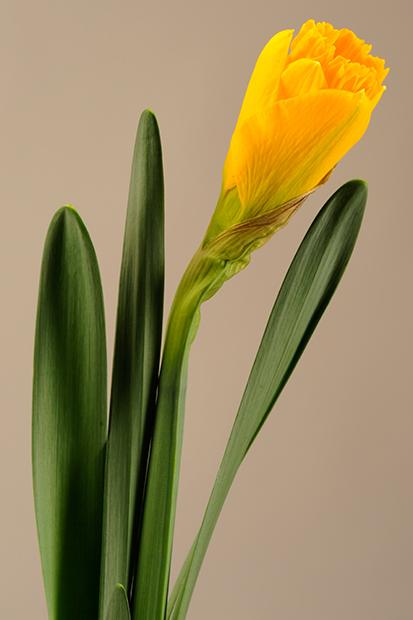 Daffodil-Bud