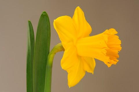 Daffodil-III