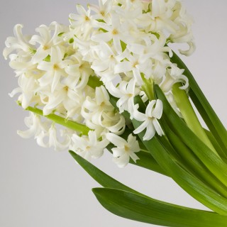 White-Hyacinth-I