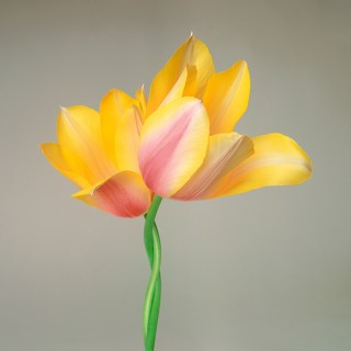 Color Botanicals - Two Tulips I