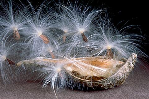 Milkweed Seed Pod III