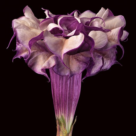 Purple-Datura