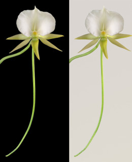 Angraecum II ©Amy Lamb | Angraecum II with Gray Tone Background