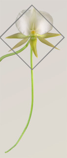 Crop Outline for Angraecum II