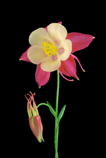 Columbine II © Amy Lamb