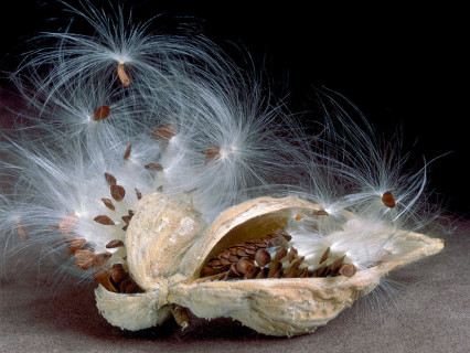 Milkweed Seedpod I