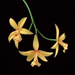 Orchid Study IV (Dendrobium)