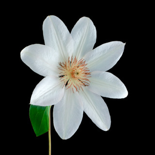 White Clematis I