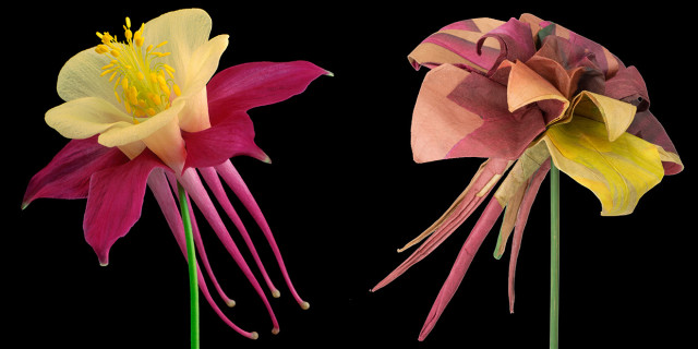 Columbine I ©Amy Lamb (left); Origami Columbine folded by Robert. J. Lang (right) (photograph: Amy Lamb)